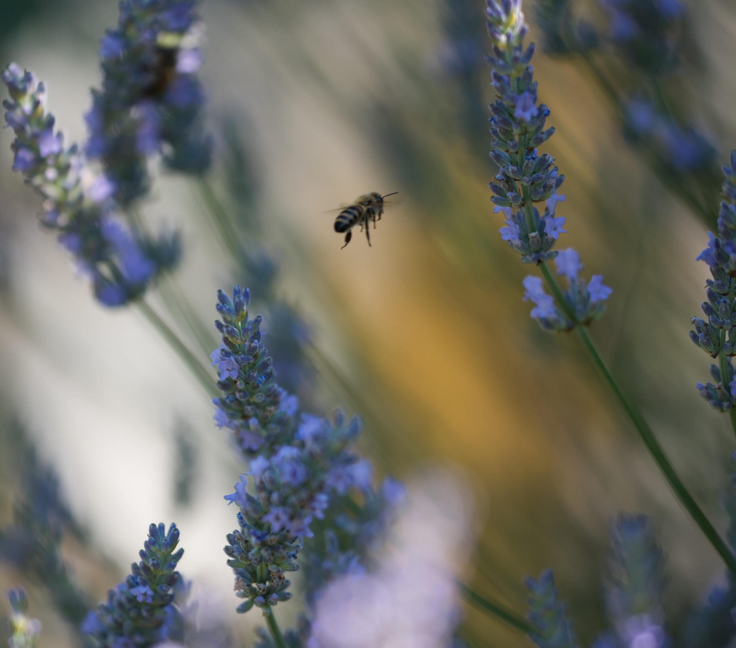Biene, Blume, Lila, Gelb