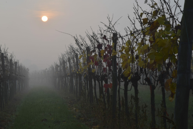 Weingarten Sonne Nebel